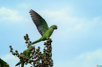 亚历山大鹦鹉吃果品花