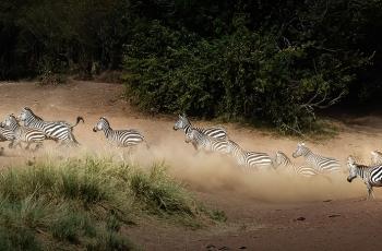 大迁徙中的斑马  ----   祝贺荣获动物首页精华!