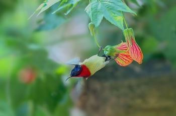 叉尾太阳鸟