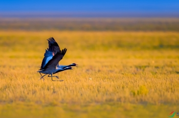 迁徙 蓑羽鹤