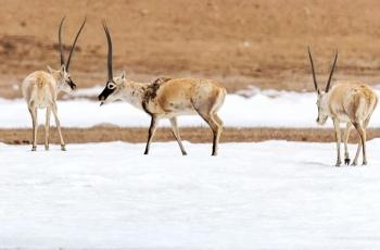 国家一级保护动物——藏羚羊《踏雪觅食》 --- (祝贺老师作品荣获VIP综合精华 )