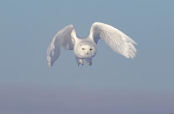雪鸮 --- (祝贺老师作品荣获VIP综合精华 )