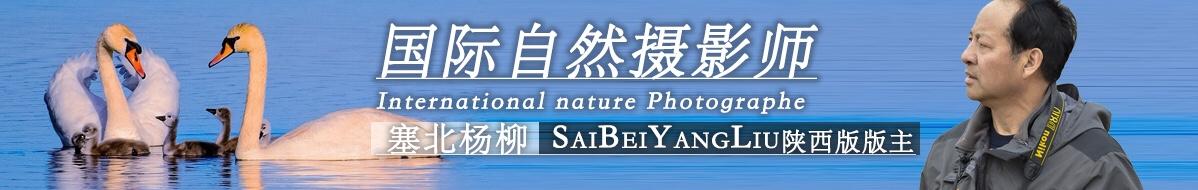 G 079 塞北杨柳:鸟网——鸟友的欢乐之家!